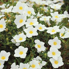 Cup flower is a fantastic plant for adding fine texture to the front of the border or in containers. It produces white, lavender, or purple flowers all summer long over ferny foliage. http://www.bhg.com/gardening/design/color/white-flower-garden-ideas/?socsrc=bhgpin031415cupflower&page=7