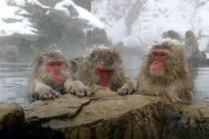 The Snow Monkeys of Japan (Japanese Macaques) of Jigokudani Yaenkoen Park, in northern Japan.  It's on my Bucket List