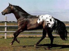 7 Best Appaloosa Images Appaloosa Horses Beautiful Horses Horse
