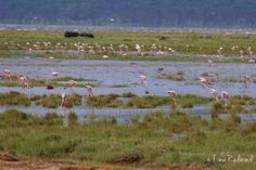 a FLAMBOYANCE of flamingoes