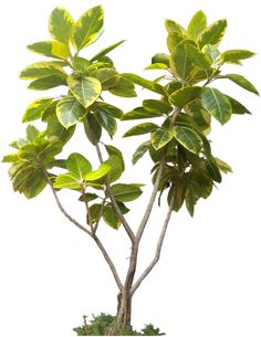 20 Free Tree PNG Images  - ficus_altissima01L
