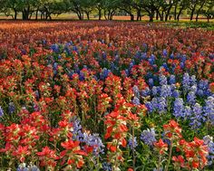 Texas Hill Country Spring. Indian paint brush and bluebonnets.