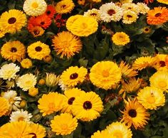 Marigold 'Fancy Mix'