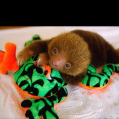 Baby sloth Too Cute