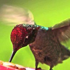 Un video che non potete perdere. Il recupero di una pulcina di colibrì, la sua crescita, le sue esercitazioni di volo in giardino, fino all'involo.  Dopo la