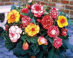 Begonia Bulbs and Tubers On Sale | Buy Tuberous Begonia Bulbs at Eden Brothers
