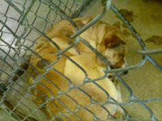 ***6/17/14 SHE'S STILL THERE!!  WATCH FB FOR UPDATE|STILL GETTING SHARES!***141984 MANDY Female Shepherd Mix -possible ringworm  https://fundrazr.com/campaigns/bnBXc/ab/5tTwf?  These animals are at Clayton County Animal Control at 1396 Government Circle Jonesboro, GA 30236. For help with rescue coordination, please email jmpartnersccac@gmail.com, https://www.facebook.com/photo.php?fbid=793732213979150set=a.511463058872735.129181.339511346067908type=3theater