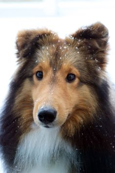 toby-snow.jpg?utm_source=Sheltie+Nation+Subscribers&utm_campaign=f5524e8f34-RSS_EMAIL_CAMPAIGN&utm_medium=email&utm_term=0_f235c5a63f-f5524e8f34-87202577