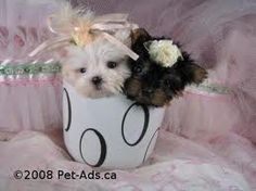 Teacup dog breeds look innocent, sweet and cute. These small little puppies are so small that it can fit in a teacup. This is the reason there are better known Teacup Maltese, Teacup Puppies, Kittens And Puppies, Cute Puppies, Cute Dogs, Maltese Puppies, Baby Maltese, Mini Puppies, Small Puppies