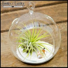 4.5 in. Terrarium Globe Kit with Airplant