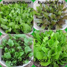 Your Guide to Growing Lettuce in Containers