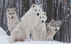 White Snow Wolves Wallpaper