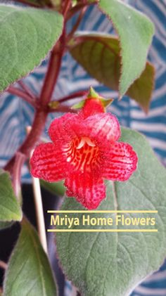 Kohleria Red Home Flowers, Plants, Red, Plant, Planets
