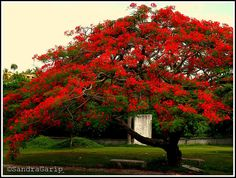 Flamboyant/Royal Poinciana tree (Delonix regia)