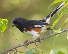 Eastern Towhee - seen in Alabama & Kentucky