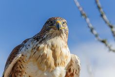 February 16, 2015 - February 16, 2015 A ferruginous hawk peers across the desert in the morning sun. Photo By: Bill Bahmer - See more at: http://www.arizonahighways.com/photography/photo-archive#sthash.6DYWKAPu.dpuf