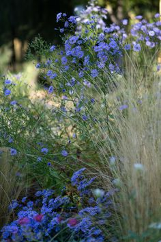Aster Little Carlow and Stipa