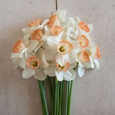 Newest Pictures Narcissus flower Thoughts Long-lived daffodils are one of the least complicated to build along with preferred spg flowering bu Narcissus Bulbs, Daffodil Bulbs, Narcissus Flower, Bulb Flowers, Daffodil Flowers, Daffodils Planting, Planting Bulbs, Spring Flowering Bulbs, Spring Blooms