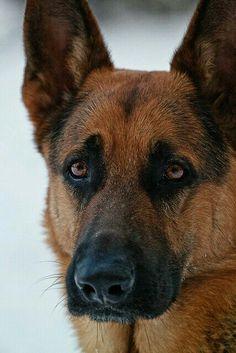 A German Shepherd's Handsome Face.