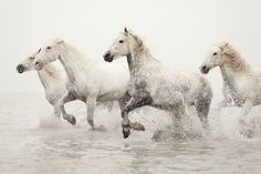 The beautiful white horses of the Camargue running through the sea water.
