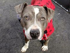 TO BE DESTROYED 3/23/14 Manhattan Center - P  My name is TOM. My Animal ID # is A0993898. I am a male gray and white pit bull mix. The shelter thinks I am about 3 YEARS old.  I came in the shelter as a STRAY on 03/14/2014 from NY 11233, owner surrender reason stated was STRAY. https://www.facebook.com/photo.php?fbid=773906649288883&set=a.611290788883804.1073741851.152876678058553&type=3&theater