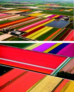 The tulip fields during Floriade in Holland