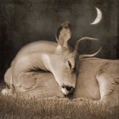 Nature surreal deer photography. Sleeping buck, moon photograph. ($85) ❤ liked on Polyvore featuring home, home decor, gold home accessories, gold home decor, black home decor and deer home decor