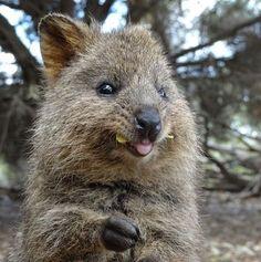 Happy Animals, Cute Funny Animals, Animals And Pets, Quokka Animal, Australia Animals, San Diego Zoo, Animals Of The World, Animals Beautiful, Mammals