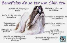 Shih Tzu amigo: Benefícios de se ter um Shih tzu