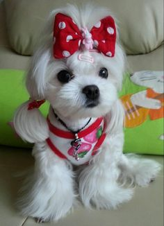 Minnie Maltese - the ear ponytails are a bit much but like the length of the face