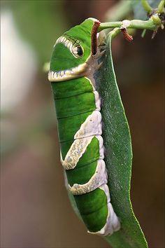 Great Mormon Butterfly (Papilio memnon) caterpillar