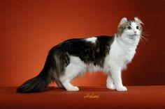 american curl cat - #americancurl #catbreeds #typesofcats - More Cat Breeds at Catsincare.com!