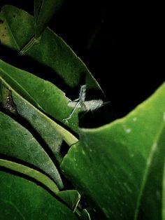Infant swallowtail pillar and newborn hopper