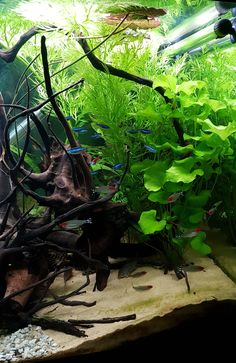 Freshwater Aquarium Plants, Tropical Fish Aquarium, Glass Aquarium, Nature Aquarium, Aquarium Design, Planted Aquarium, Aquarium Ideas, Fish Model, Amazing Aquariums