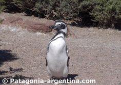 http://www.patagonia-argentina.com/costumbres-pinguinos