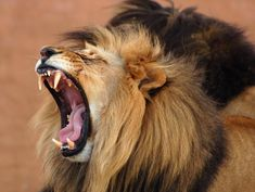 Find Male African Lion Panthera Leo Africa stock images in HD and millions of other royalty-free stock photos, illustrations and vectors in the Shutterstock collection. Lynx, Tarot Gratis Amor, Jaguar, Roaring Lion, Tribe Of Judah, Dangerous Animals, Lion Of Judah, Cat Facts, Big Cats