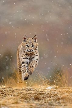 ~~Bobcat cub by Don Johnston~~