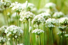 Also known as Chinese chives or Chinese leek. Crunchy slim 1218 inch leaves have garlicky taste and are perfect wherever a mild but distinctive flavor Chive Blossom, Garlic Chives, Allium, Kitchen Gardening, Herb Gardening, Perennials, Flora, Herbs, Vegetables
