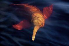Pink river dolphin by Araquem Alcantara Dauphin Rose, Araquem Alcantara, Pink River Dolphin, Brazil Beauty, Beautiful Friend, Great Photographers, Fine Art, Nature Animals, Pet Birds