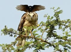 The eagle looks as though it is staring straight down the camera lens as the crow plants its feet square onto its head