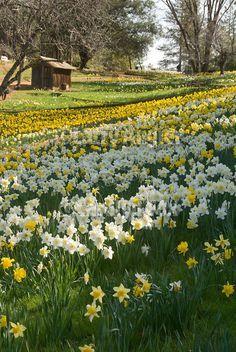 Daffodil Hill Amador County, Northern California, Vegetation