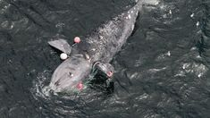The North Atlantic right whale faces extinction | Science | AAAS