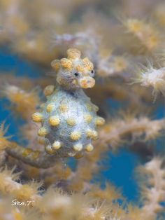 Pigmy seahorse. By Sven Tramaux. Found in Indonesia.