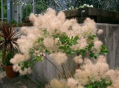 Pink smoke bush/tree. These have green leaves, unlike the deep purple of the more commonly seen purple smoke tree.