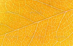 Beautiful yellow autumn leaves background ...  autumn, autumnal, background, beautiful, botany, bright, close-up, closeup, color, colorful, decoration, decorative, design, detail, dry, environment, fall, foliage, forest, frame, golden, leaf, leave, linden, macro, many, maple, natural, nature, november, object, october, old, orange, pattern, plant, red, season, seasonal, september, teil, texture, tilia, tree, vibrant, vivid, white, yellow