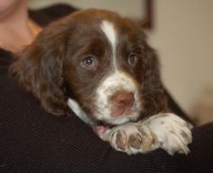 I have a black and white and a brown and white . they r the best puppies Baby Puppies, Cute Puppies, Cute Dogs, Dogs And Puppies, Corgi Puppies, Springer Spaniel Puppies, English Springer Spaniel, Spaniel Dog, Dog Grooming Business