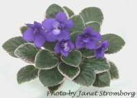 Mac's Kismet Knight | African Violet Society of America