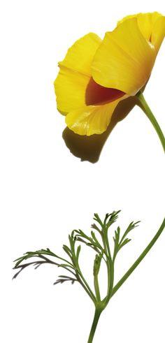 Kalifornischer Mohn schenkt der Haut Erholung, sie ist glatter und wirkt energiegeladen. #clarins #multiactive