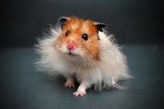 Teddy Bear Syrian Hamster