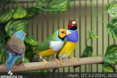 Gouldian Finch                                                                                                                                                                                 Plus